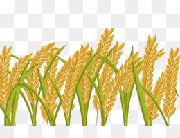 oryza sativa png and oryza sativa transparent clipart free download cleanpng kisspng oryza sativa transparent