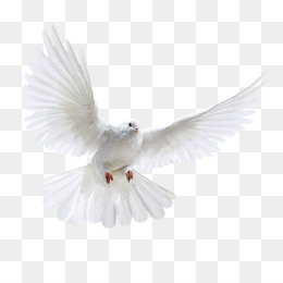 Dove Png White Dove Peace Dove Wedding Doves Flying Dove Holy Spirit Dove Dove Silhouette Cross And Dove Cartoon Dove Religious Dove Funeral Dove Cleanpng Kisspng Almost files can be used for commercial. white dove peace dove wedding doves