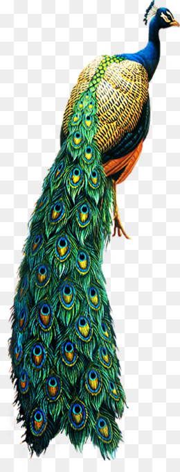 peacock png peacock vector cartoon peacock peacock border peacock design peacock tail peacock wedding peacock drawing single peacock feather beautiful peacock cute peacock cleanpng kisspng peacock png peacock vector cartoon