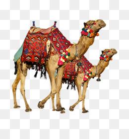 Bactrian Camel Arabian Camel