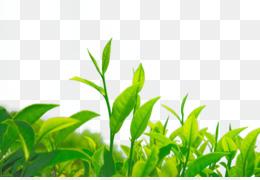 Green Tea Leaf Png Green Tea Leaf Art Cleanpng Kisspng