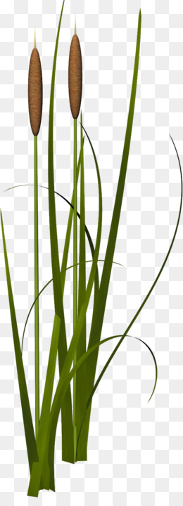 Reed Png Reed Plant Water Reeds Cartoon Reeds Coloring Page Of Reeds Aquatic Reeds Black And White Reeds Coloring Pages Printable What Are Reeds Cleanpng Kisspng
