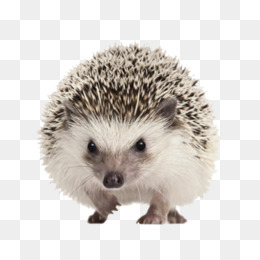 Fourtoed Hedgehog Porcupine