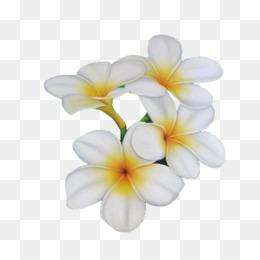 Gardenia Taitensis Png And Gardenia Taitensis Transparent Clipart