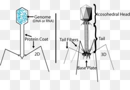 Batteriofago PNG trasparente e Batteriofago disegno