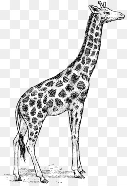 Giraffe Black And White Png And Giraffe Black And White Transparent Clipart Free Download Cleanpng Kisspng