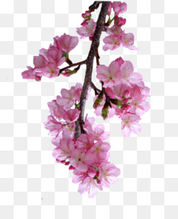 Cherry Blossom Cartoon