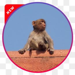 Scimmia Che Ride Disegno.Macaco Png Trasparente E Macaco Disegno Macaco Vecchio Mondo