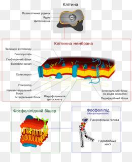 Biological Membrane Text