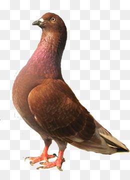 burung merpati png and burung merpati transparent clipart free download cleanpng kisspng burung merpati png and burung merpati