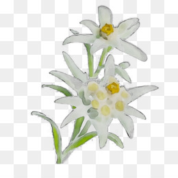 Edelweiss Png Edelweiss Flower Black And White Edelweiss