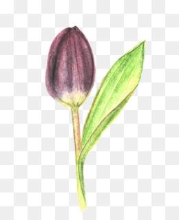 Tulip Drawing Petal Plant stem Purple