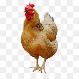 chicken bird rooster comb poultry
