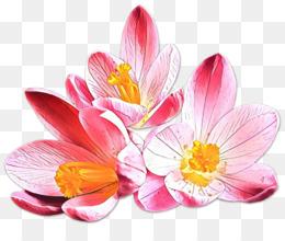 flower petal plant pink crocus