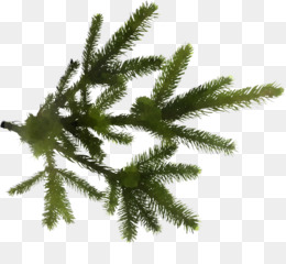 shortleaf black spruce yellow fir white pine tree canadian fir